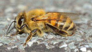 Como espantar abeja sin matarla