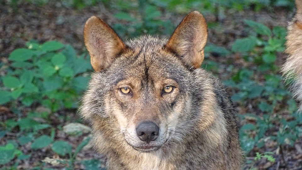 Orina de Lobo depredador