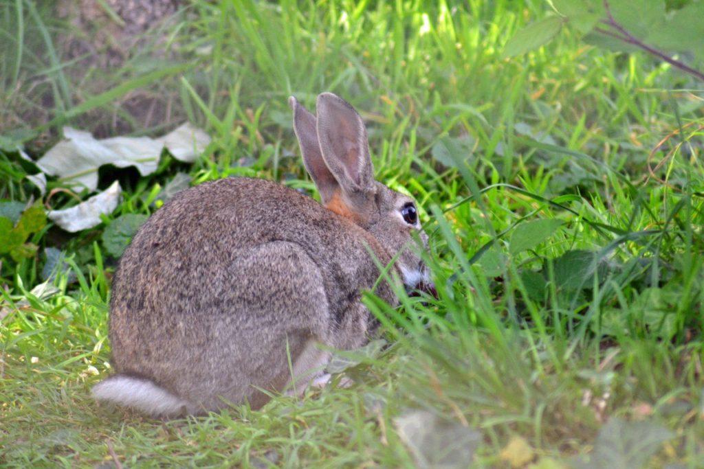 Conejo presa meloncillo